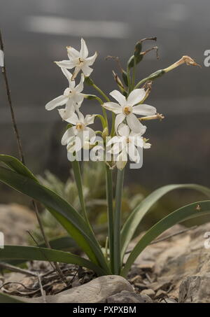 Paper-white Narcissus, Narcissus papyracea,  in flower in spring, south Portugal. - Stock Photo