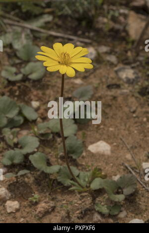 Yellow Anemone, Anemone palmata, in flower in spring, Portugal. - Stock Photo