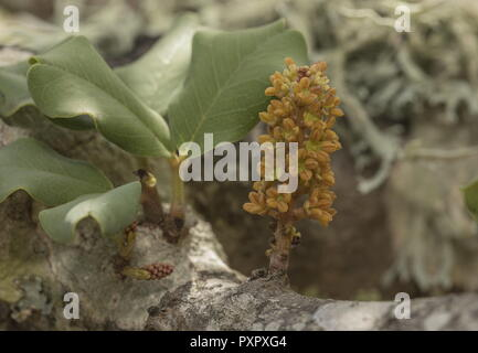 Male flowers of Carob tree, Ceratonia siliqua, growing straight from wood. - Stock Photo
