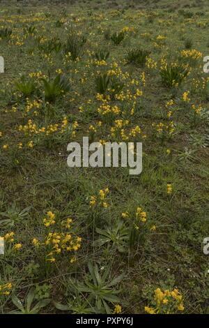 Masses of Narcissus gaditanus, in early spring, at Boca del Rio in the Algarve, Portugal. - Stock Photo