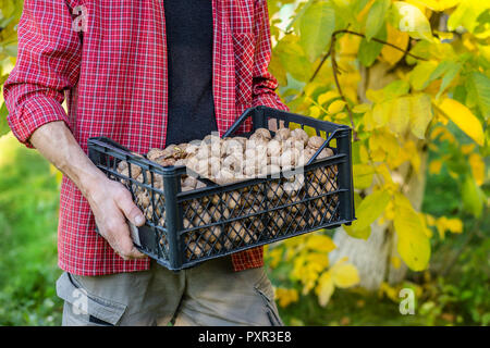 Freshly picked walnuts in boxes. Autumn harvest in the garden. A box of nuts in the hands of men. - Stock Photo