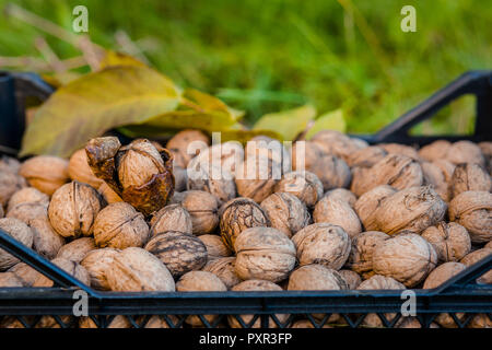 Freshly picked walnuts in boxes. Autumn harvest in the garden. Regal Judges nuts. - Stock Photo