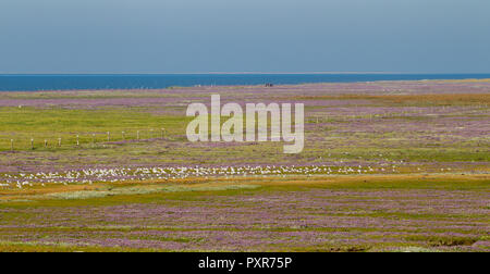 Purple flowers blooming on the salt marshes on the East Frisian Island Juist in the North Sea, Germany. - Stock Photo