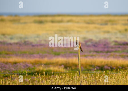 Common Kestrel (Falco tinnunculus) sitting on a fence post at the salt marshes on the East Frisian Island Juist in the North Sea, Germany. - Stock Photo