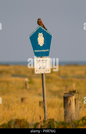 Common Kestrel (Falco tinnunculus) sitting on a sign of the national park at the salt marshes on the East Frisian Island Juist in the North Sea, Germa - Stock Photo
