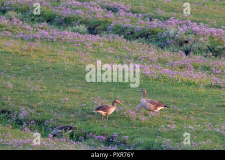 Greylag Geese (Anser anser) on the salt marshes on the East Frisian Island Juist in the North Sea, Germany. - Stock Photo