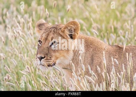 Botswana, Kgalagadi Transfrontier Park, young lion, Panthera leo - Stock Photo