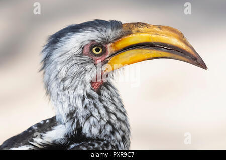 Botswana, Kalahari, Central Kalahari Game Reserve, Yellow-billed hornbill, Tockus flavirostris - Stock Photo