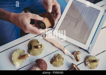 Man's hand holding scarletina bolete while reading information on digital tablet - Stock Photo
