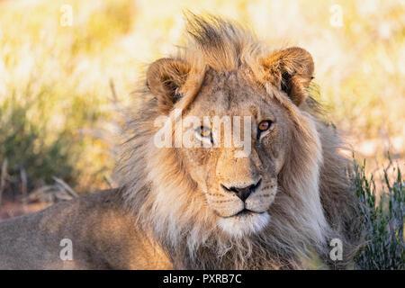 Botswana, Kgalagadi Transfrontier Park, Portrait of male lion, Panthera leo - Stock Photo