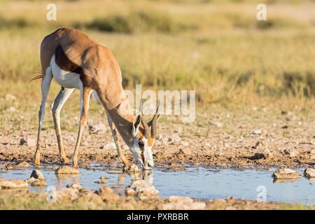 Botswana, Kgalagadi Transfrontier National Park, Mabuasehube Game Reserve, Springbok drinking at waterhole, Antidorcas marsupialis - Stock Photo