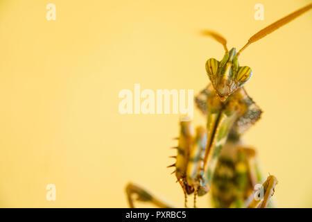 Portrait of praying mantis - Stock Photo
