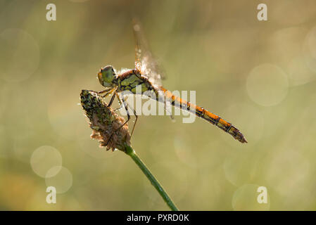 Common darter firefly, Sympetrum striolatum, hovering over flower - Stock Photo