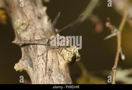 A hunting Common Darter Dragonfly (Sympetrum striolatum) perched on a branch at the edge of woodland. - Stock Photo