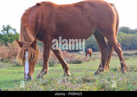 New Forest ponies enjoy the last of the sunny weather before arctic weather arrives this weekend. - Stock Photo