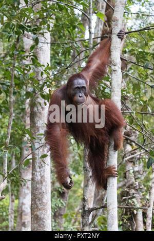 Male Bornean orangutan, Pongo pygmaeus, at Camp Leakey dock, Borneo, Indonesia. - Stock Photo