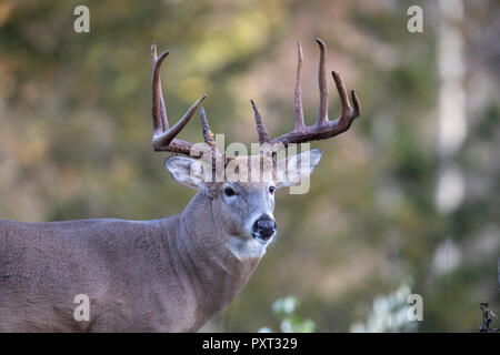 A large male white-tailed deer. - Stock Photo
