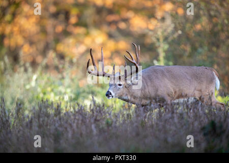 A mature buck white-tailed deer following the trail of females during the rut. - Stock Photo