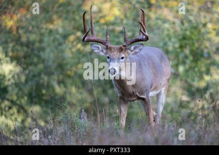 An approaching buck whitetail deer. - Stock Photo