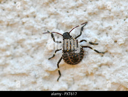 Brown marmorated stink bug (Halyomorpha halys), young animal, on house wall, originally Asian area, Stuttgart - Stock Photo