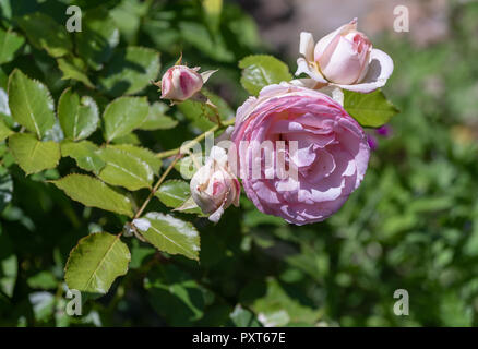 Outdoor nature color flower front view macro of a wide open pink rose blossom with detailed texture on natural green blurred background with branch,le - Stock Photo