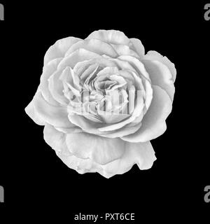 Fine art still life monochrome black and white flower macro photo of a wide open rose blossom with detailed texture on black background - Stock Photo