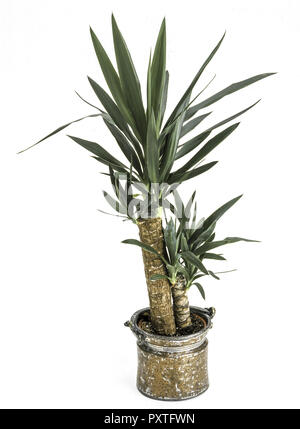 Zimmerpflanzen yucca palme in einem topf indoor plants for Zimmer yucca palme bluht