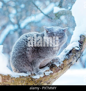 Blue British Shorthair Cat sitting on a tree in the garden in snowy winter - Stock Photo