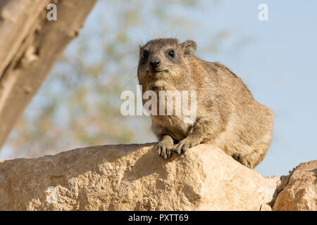 Hyrax animal sitting on rock with tree out to focus background - Stock Photo