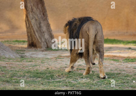 back of lion walking on the grass in zoo - Stock Photo