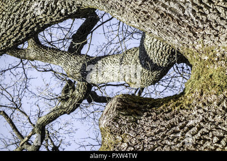 Baum, Eiche im Winter ohne Blätter, Tree, oak tree in winter devoid of leaves, English Oak, Quercus Robur, Bark, Lichens, Close-Up, Tree Trunk, Oak, O - Stock Photo