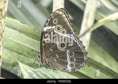 Tropischer Schmetterling, Blauer Morphofalter (Morpho peleides), Tropical butterfly, Blue Morpho (Morpho peleides), Butterfly, Tropical, Butterflies,  - Stock Photo