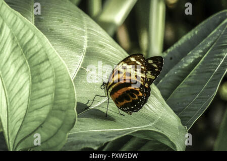 Tropischer Schmetterling, Edelfalter (Heliconius xanthocles), Tropical Butterfly, Nymphalidae (Heliconius xanthocles), Butterfly, Tropical, Butterflie - Stock Photo