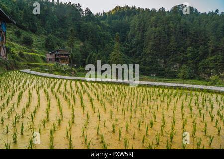 China, Guizhou, Miao rice plantation - Stock Photo