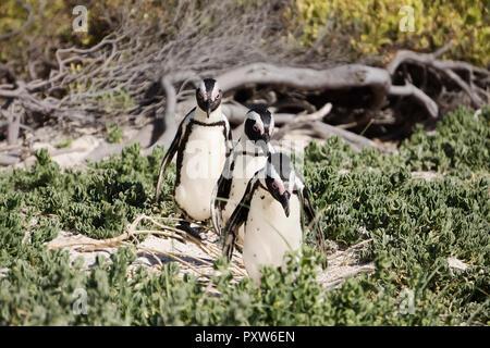 Africa, Simon's Town, Boulders Beach, Brillenpinguin, Three black-footed penguins walking, Spheniscus demersus - Stock Photo