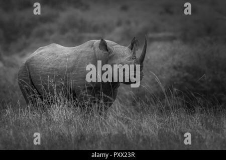 This image of Rhino is taken at Masai Mara in Kenya. - Stock Photo