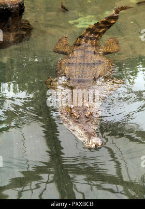 Slender-snouted crocodile (Mecistops cataphractus) swimming in water. These species have a slender snout used for catching prey. - Stock Photo