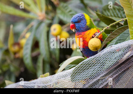 A Rainbow Lorikeet eats a loquat while perched on some netting intended to keep it and other wildlife away from the fruit in Adelaide, South Australia - Stock Photo
