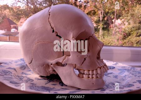 osteopathic model skull canterbury kent uk oct 2018 - Stock Photo