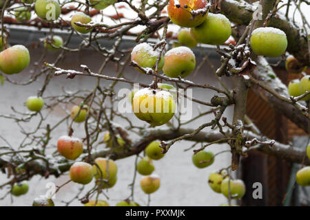 An apple tree in winter. All the hanging apples on the branches are covered with snow. Taken in a garden in Germany. - Stock Photo