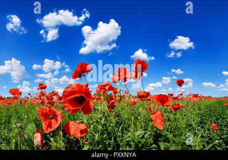 Idyllic landscape, field full of beautiful red poppies, blue sky and white clouds in the background - Stock Photo