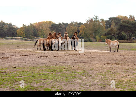Camel, Camels standing in group - Stock Photo