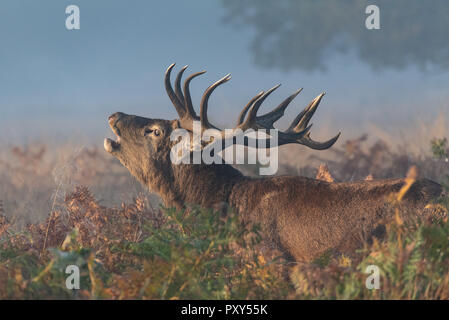 Bellowing royal stag during rutting season - Stock Photo