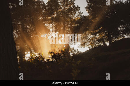 Early morning sun's rays beaming through bracken, mist and fog in a pine tree woods, Ilkley Moor, UK - Stock Photo