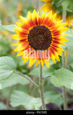 Close-up of Helianthus annuus, 'Ring of Fire' flower. Sunflower 'Ring of Fire' - Stock Photo