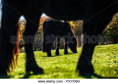 Towford, Jedburgh, Scottish Borders, UK. 15th October 2018. Fell Ponies graze in the autumn sunshine at Towford Farm in the foothills of the Cheviots  - Stock Photo