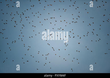 Brighton, UK. 24th Oct, 2018. Starlings begin to roost as the sun sets by the West Pier in Brighton this evening after another warm sunny day on the south coast Credit: Simon Dack/Alamy Live News - Stock Photo