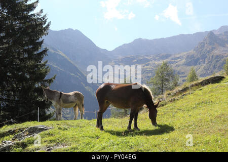 A brown skin and white mane pony horse grazing in a pasture next to a  white and grey donkey during a sunny summer day in the Alps mountains, Italy - Stock Photo