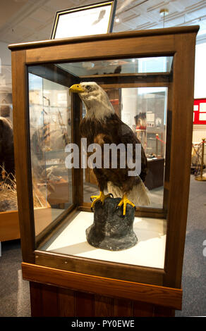 Taxidermied bald eagle on display in history museum in Kalispell, Montana - Stock Photo