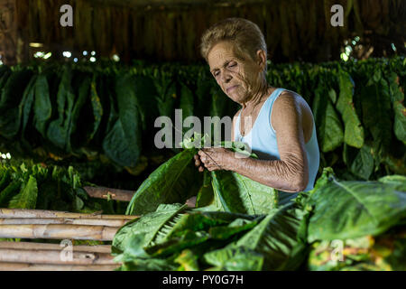 Mature woman threading and drying tobacco leaves, Vinales, Pinar del Rio Province, Cuba - Stock Photo